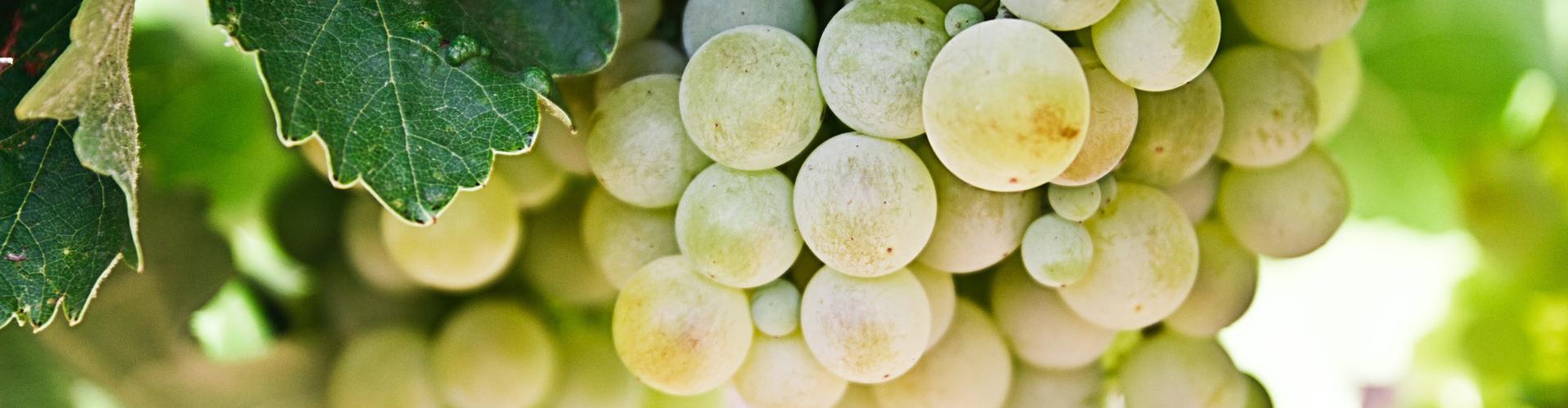 grappolo di uva bianca